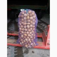 Продам семеной картофель сорт Гала