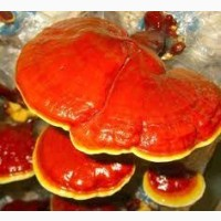 Гриб рейши, Reishi mushroom, Lingzhi, Ganoderma lucidum