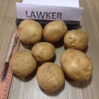 Индийский картофель оптом