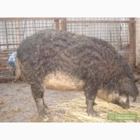 Продам свиноматку и мангала проды мангал