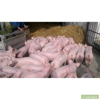 Piglets for fattening in bigger amounts