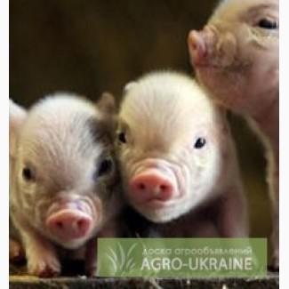 Концентрат Стартер для свиней 25% (Голландия)