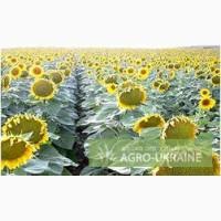 Семена подсолнечника Мэй Агро Сид (MAY AGRO SEED)