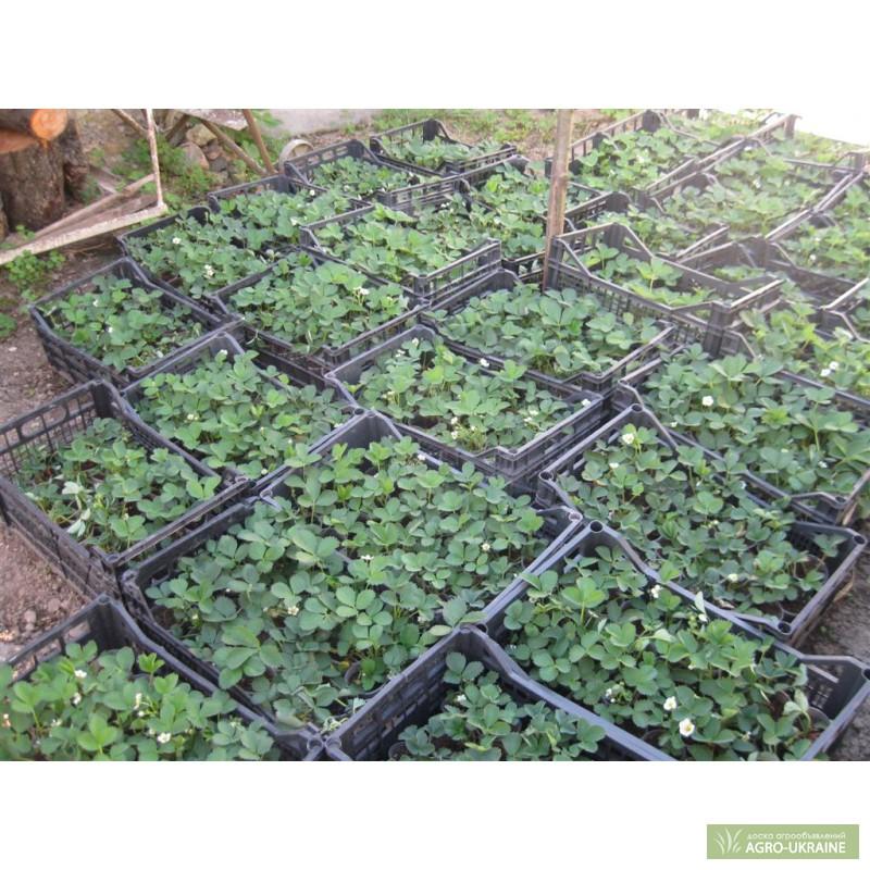 Как сохранить рассаду клубники в подвале 61