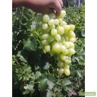 Продам виноград, АЛИГАТЭ 1-1.5т Сорочанский 400 кг Первая выборка