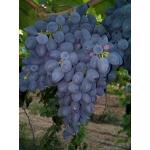 Продажа столового винограда оптом от производителя