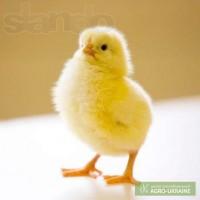 Суточные цыплята бройлера оптом и в розницу