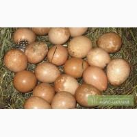 Продажа : Яйца Цесарки