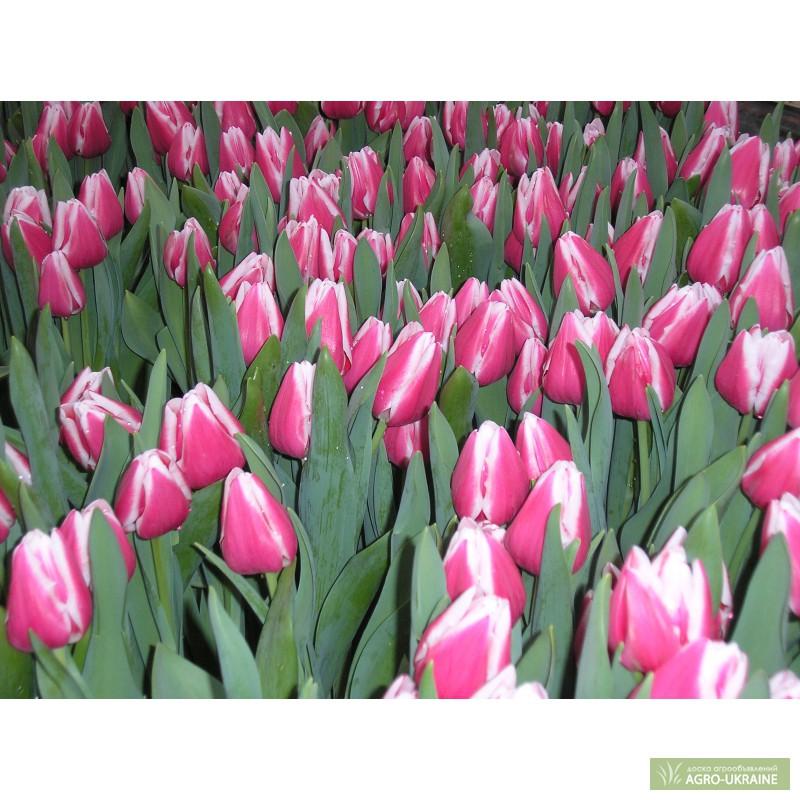 Тюльпаны в крыму купить оптом купить черные цветы в москве
