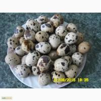 Продам перепелиные яйца оптом