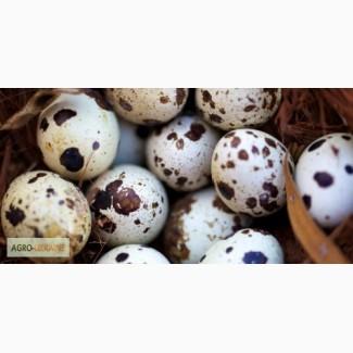 Продам яйця та тушки перепела