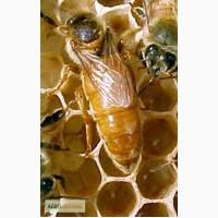 Пчеломатки-Бджоломатки італійська порода