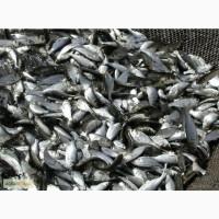 Продам Зарибок мальок короп карп товстолоб риба