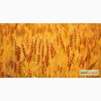 Покупаем Пшеницу разноклассовую