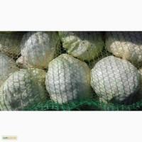 Продам капусту сорт Анкома