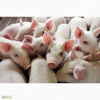 Свиньи. Поросята