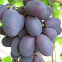 Саженцы винограда сорт Атаман