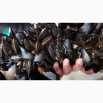 Живые мидии в ракушке черноморские