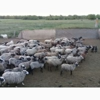 Продам стадо овец 240 голов романовская порода
