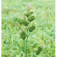 Куплю райграс, фацелія, вівсяниця(костриця), грястиця(житня трава), конюшина