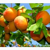 Семена абрикоса «июльский», тм ogorod - 2 семечка
