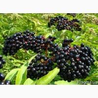 Куплю оптом лікарські рослини: сухі ягоди бузини