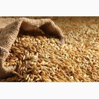 Куплю ячмінь фуражний, пшеницю (2 клас, 3 клас, фураж), кукурудзу
