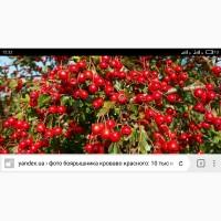 Закупаем плоды боярышника., рябину красную и шиповника