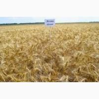 Семена пшеницы CHICAGO твердый озимый канадский трансгенный сорт (элита)