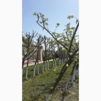 Обрезка сада.Обрезка деревьев. Обрезка фруктовых деревьев. Обрезка аварийных веток