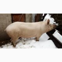 Продам злучену свиноматку