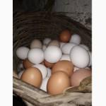 Продам курячі яйця оптом