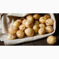 Продам молодой картофель оптом отличного качества
