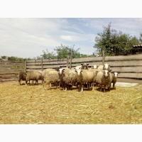 Продаються вівці ромоновської породи
