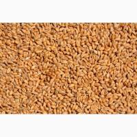 Куплю пшеницу срочно
