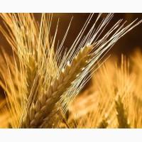 Семена озимого ячменя Луран, урожайность 85-90 ц/га