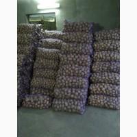 Продам картоплю Белароса, Скарб, Тайфун, Слов#039;янка