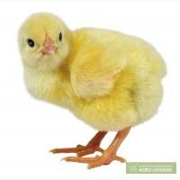 Цыплята бройлера суточные, подрощенные!