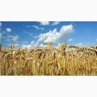 Пшеница Маттус (двуручка) Штрубе 1 репродукция