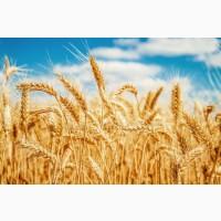 Закуповуємо пшеницу по всій Україні. Є можливість самовивозу з господарства, поля, елева
