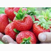 Ельсанта (Elsanta Strawberry) саджанці полуниці Фріго