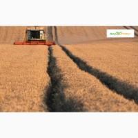 Озимая пшеница Шпаловка, семена (Элита ) урожай 2020 г