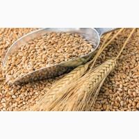 Продам посевной материал озимой пшеницы сорт Донской маяк (супер элита)
