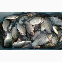 Продам Живу рибку толстолоб 1-4