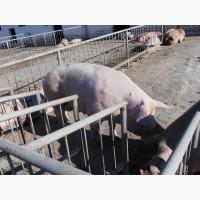 Продаємо свиноматок 10 шт