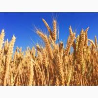 Закупаем пшеницу 2-3-4 класс