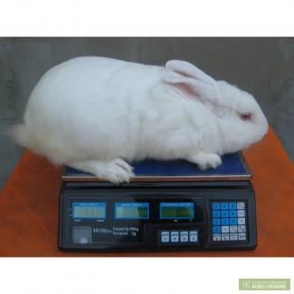 Продам кроликов мясной породы-Белый Паннон.