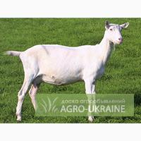 Зааненских коз продаем