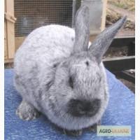 Продаю кроликов породы Европейское серебро (БСС, Шампань)