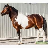 Породистая лошадь ZENDAL, кватерхорс (четвертьмильная лошадь), жеребец